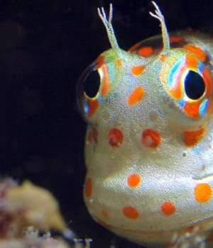 18. Red-Spotted Blenny